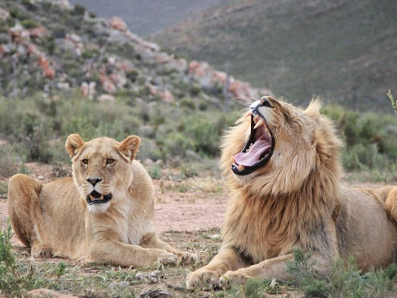 Meet the king of the Jungle - Lion