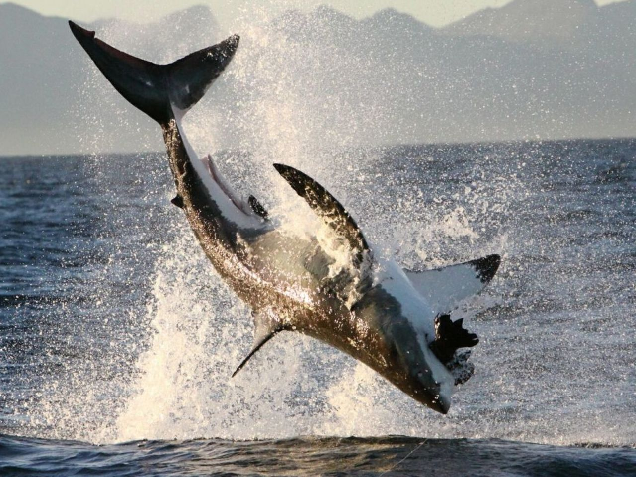 Great Whites often seen hitting a Seal
