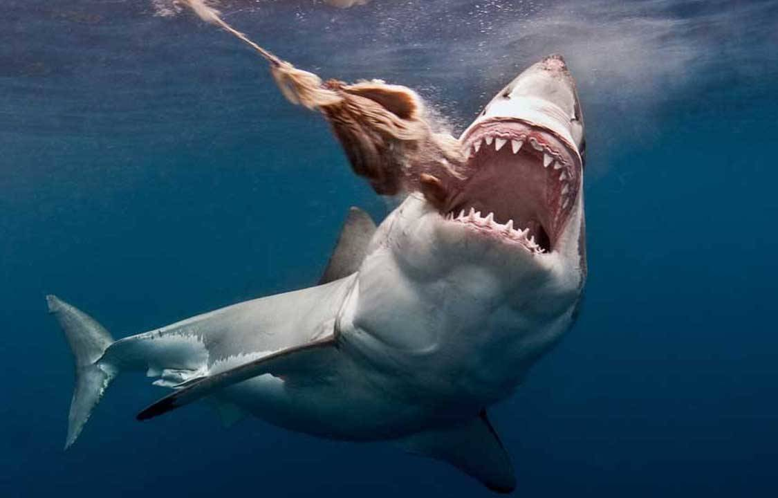 Come face to face with a Great White